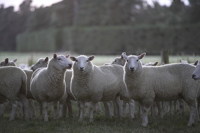 羊王国ニュージーランド