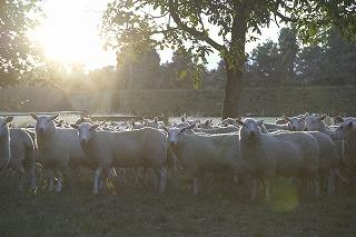 【動画】アンズコフーズの仔羊